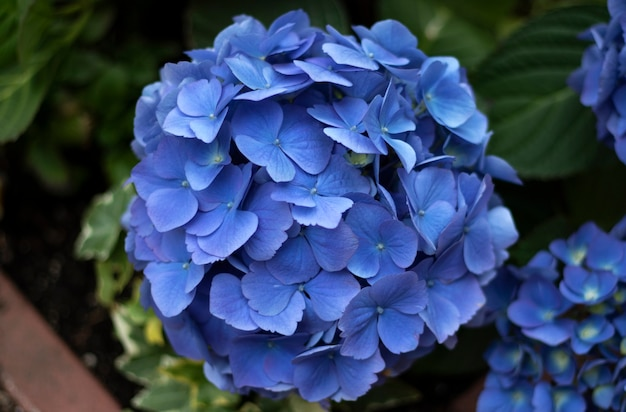 青いアジサイ、花のクローズアップ。花。花の背景 Premium写真