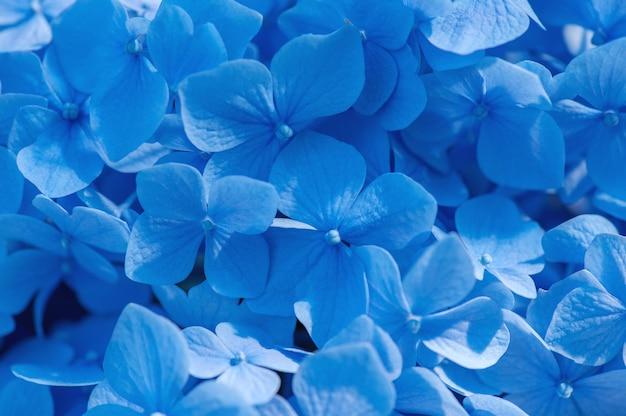 青いアジサイの背景