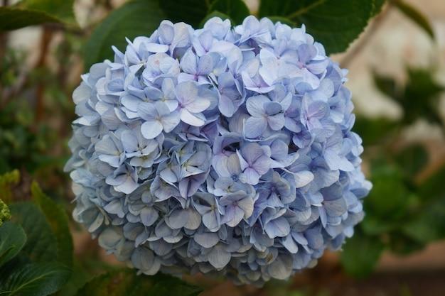 庭の青いアジサイの花