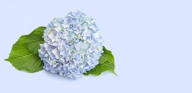 葉と青いアジサイの花