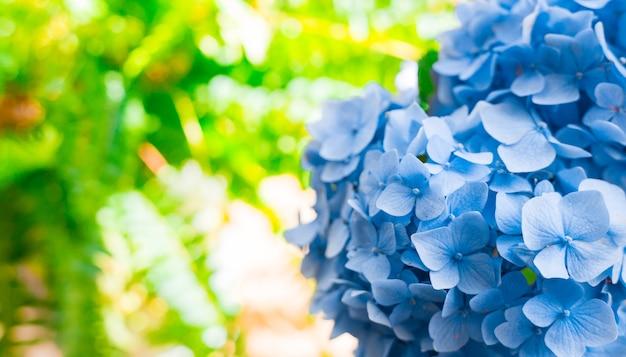 ソルフライト付きの青いアジサイの花。 webバナー、自然の明るい背景。顕花アジサイ植物。