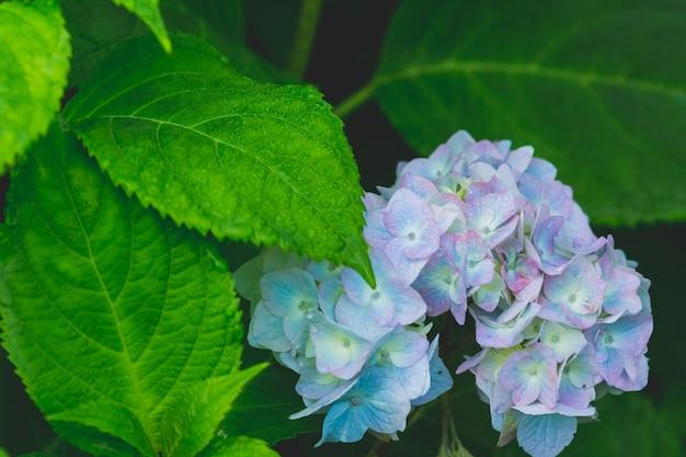 Blue hydrangea or hortensia flower. artistic natural background.