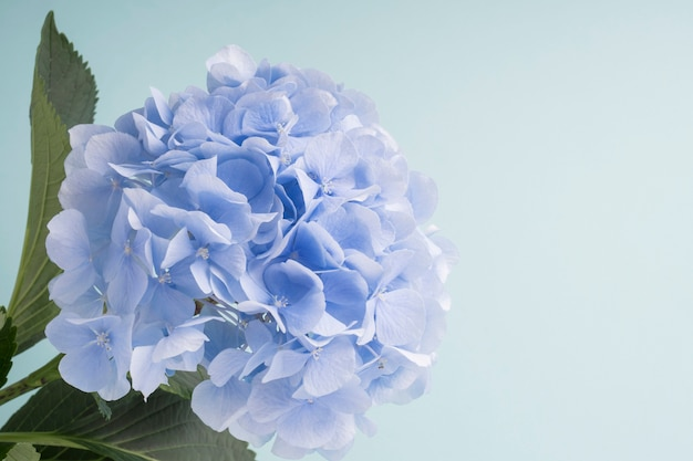 배경에 푸른 수국 꽃