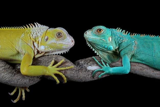 黒の背景に青いイグアナと黄色のイグアナ