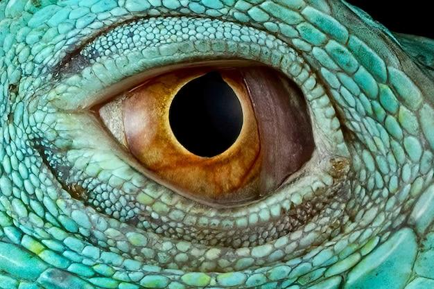 ブルーイグアナのクローズアップ目ブルーイグアナの目