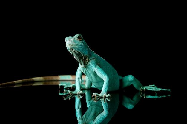 Primo piano dell'iguana blu sulla riflessione con backgrond nero blue iguana grand cayman blue iguana