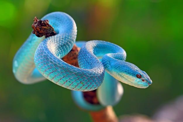 Blue insularis pit viper snakes, trimeresurus albolabris