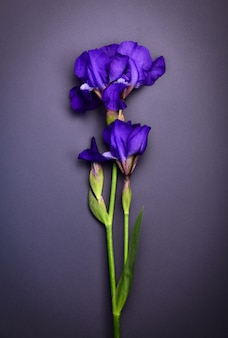 Blue iris on a black surface,