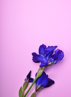 Blue iris on a pink surface