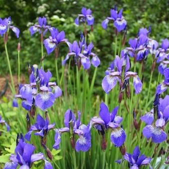 Blue irises garden