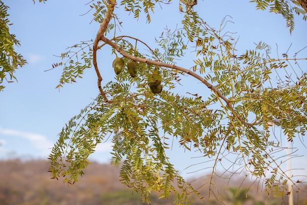 Blue jacaranda fruits of the species jacaranda mimosifolia
