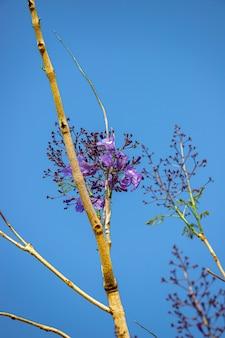 블루 자카란다 자카란다 mimosifolia 종의 나무