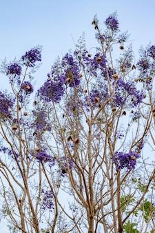 Blue jacaranda tree of the species jacaranda mimosifolia with fruits flower and selective focus
