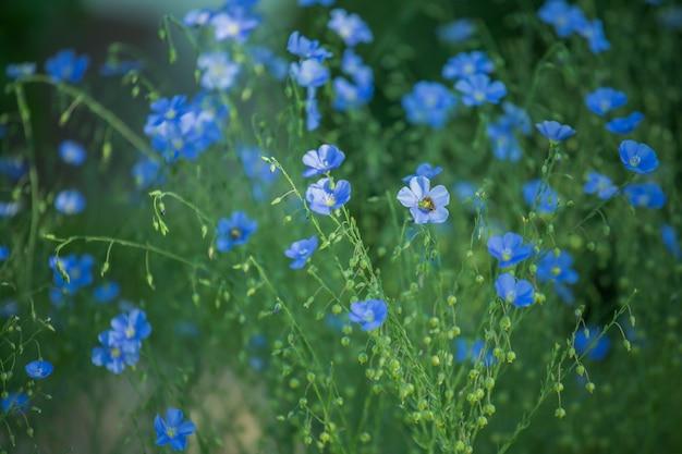 庭のアオウキクサ、多年生亜麻、青亜麻または太陽に対する糸くずの青い大きな花。庭のプロットの装飾の装飾的な亜麻。