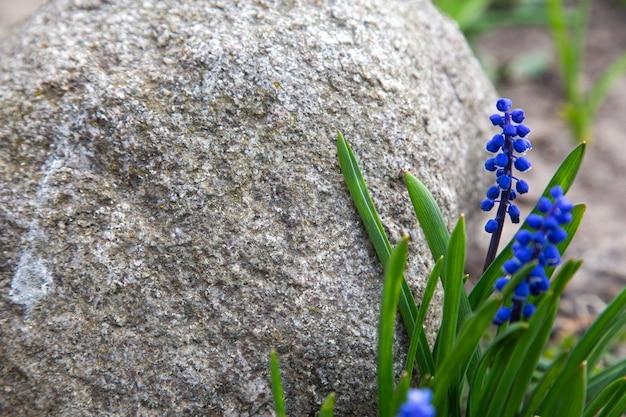 石を囲む青いラベンダー