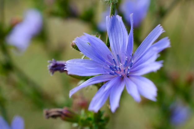 ブルーライラックチコリの花のクローズアップ。野生のチコリの青い花。 cichoriumintybus。一般的なチコリの花またはcichoriumintybus、クローズアップ、マクロ。チコリの花は青いです。