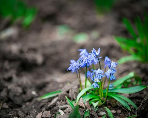 春の空き地で最初に青い小さな花。季節の自然の花の背景。