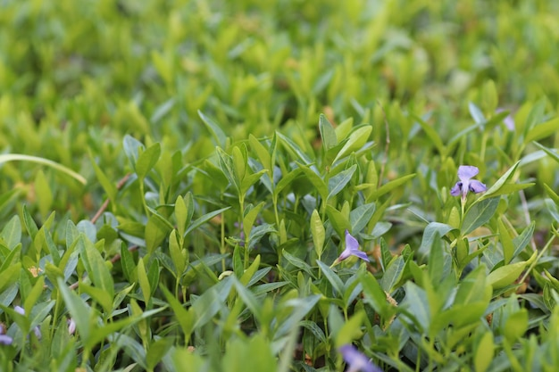 Blue little soothing flowers like a beautiful green background
