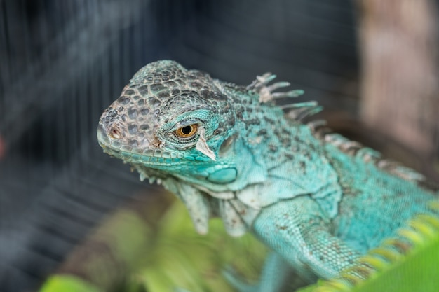 Blue lizard in the cage