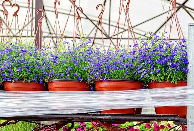 鉢植えの青いロベリアの花は、花の苗床で販売のために準備されています Premium写真