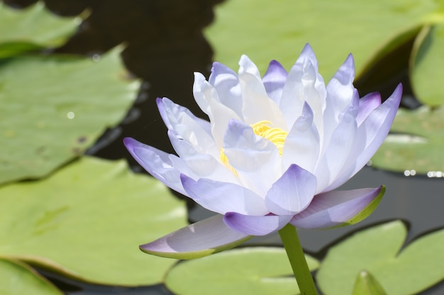 Blue lotus blossoms or water lily flowers blooming on pond