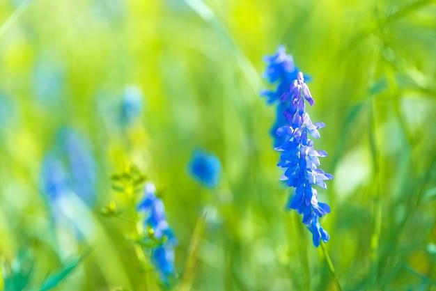 Blue lupines flowering in green meadow