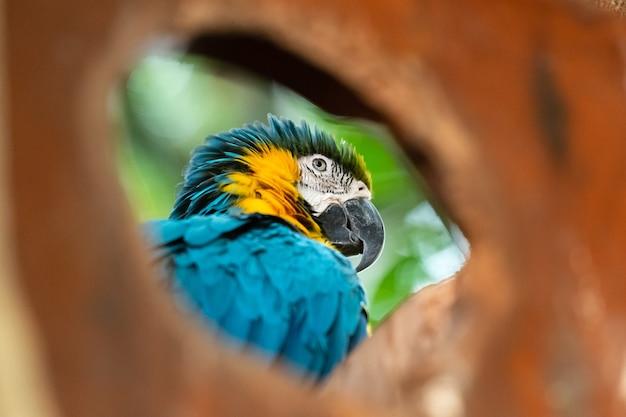 나무 구멍을 통해 본 블루 잉 꼬 브라질 동물군