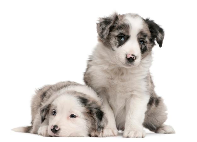 ブルーマールボーダーコリーの子犬、生後6週間、