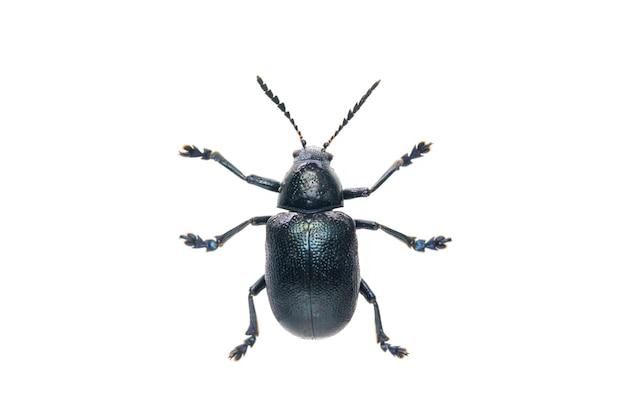 파란색 유 딱정벌레 절연입니다. 평면도에서. 곤충. 동물.