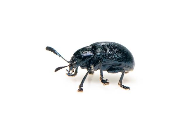 파란색 유 딱정벌레 절연입니다. 곤충. 동물.