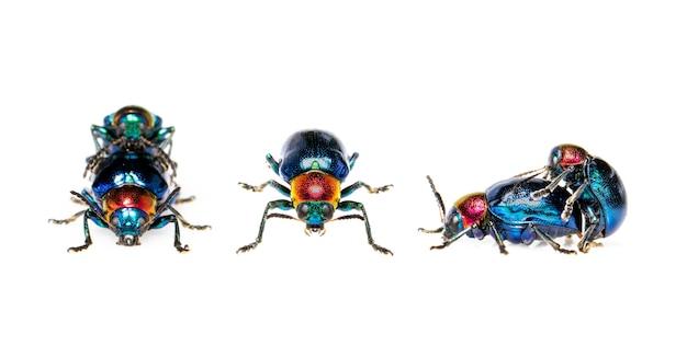 푸른 밀크 위드 딱정벌레 그것은 푸른 날개를 가지고 있고 빨간 머리 커플이 사랑을 나눕니다. 곤충. 동물.