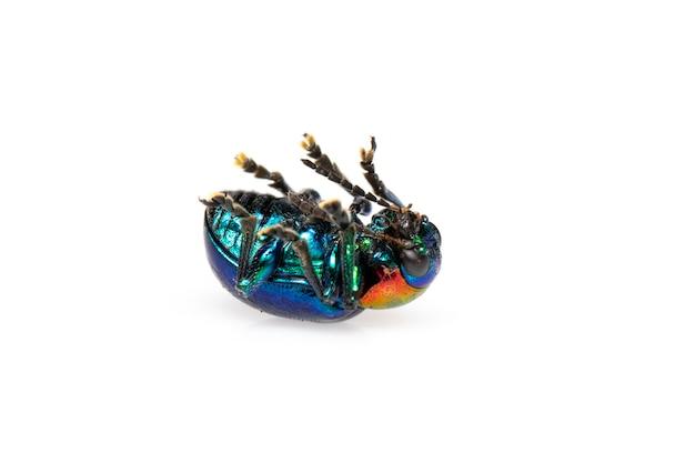 푸른 유 딱정벌레 그것은 푸른 날개와 고립 된 빨간 머리가 있습니다. 곤충. 동물.