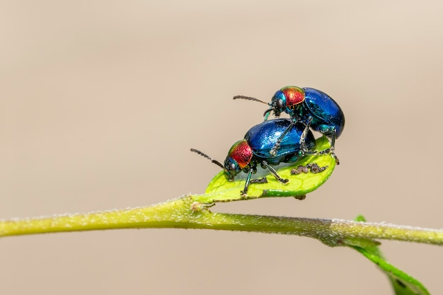 Blue milkweed beetle it has blue wings and a red head couple make love. insect. animal.