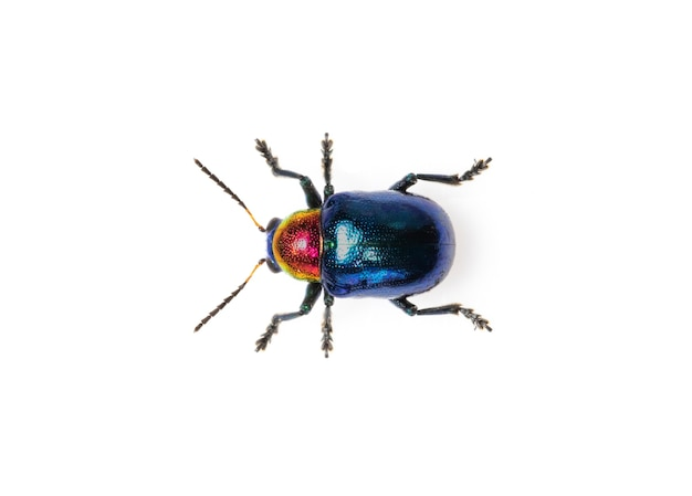 Blue milkweed beetle it has blue wings and a red head isolated. insect. animal.