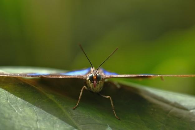 Голубая бабочка морфо (morpho menelaus)