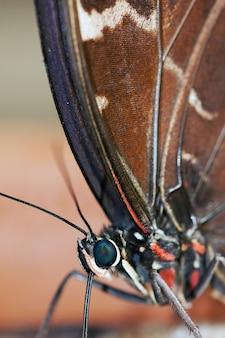 Бабочка blue morpho (морфо пелеиды) питается гниющими фруктами