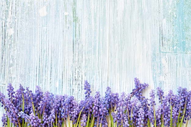 Blue muscari flowers on blue wooden background.