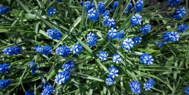 緑の草の青いムスカリの花。上からの眺め。