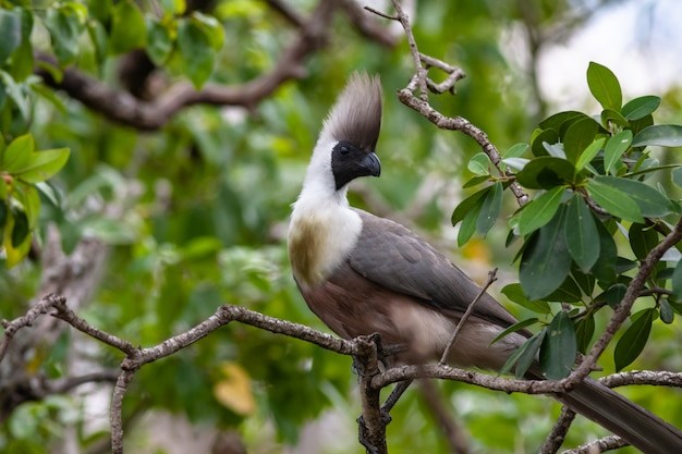 Blue-naped mousebird. кения, африка
