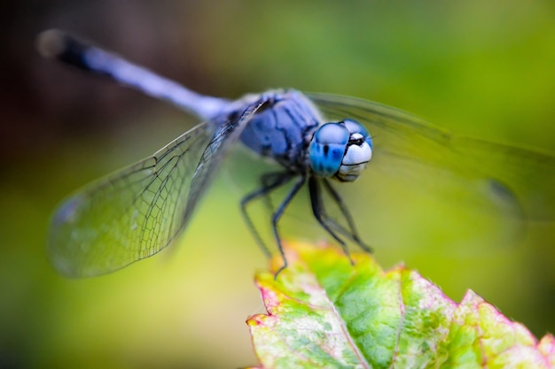 Blue net-winged insect on a green plant with a blurred background
