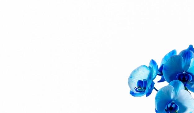 흰색 배경에 파란색 난초입니다.