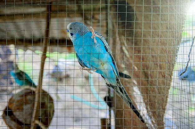 Blue parakeetはケージに閉じ込められています。