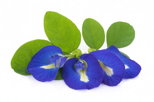 Blue pea flowers
