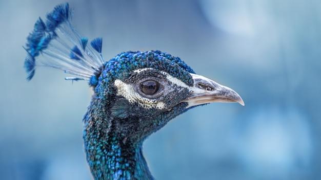 Blue peacock bird head