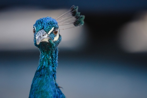 Blue peacock in close up