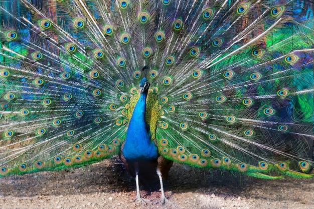 Blue peacock spreading its tail like a fan