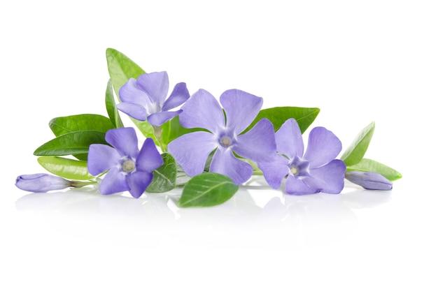 Синие цветы барвинка на белом фоне