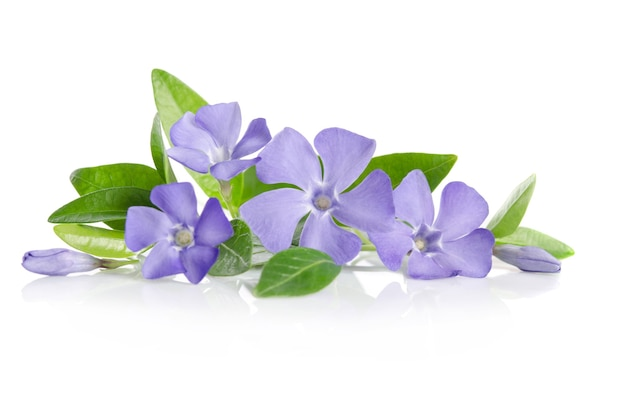 Blue periwinkle flowers on a white background