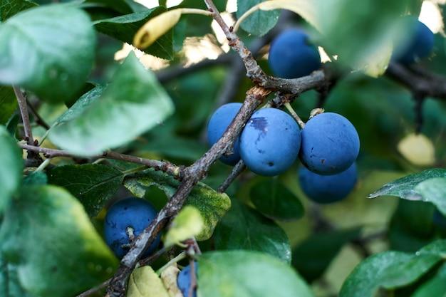 Blue plums on tree.