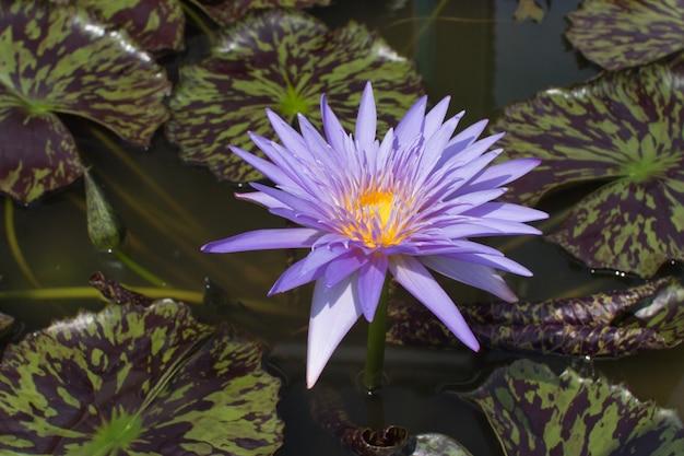 池に咲く青紫の蓮の花や睡蓮の花